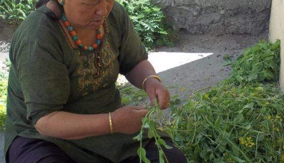 Tibetan-women-harvesting-mustard-greens