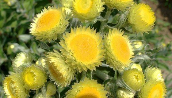 IMG_5064_Helichrysum_foetidum resize